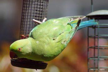 Как приручить агрессивного попугая?