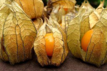 Золотая ягода - физалис