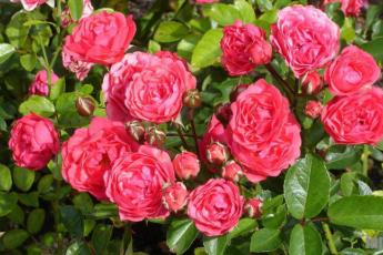 Что же это такое - полиантовая роза, ее преимущества и недостатки
