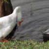 Как отличить утку от гуся?