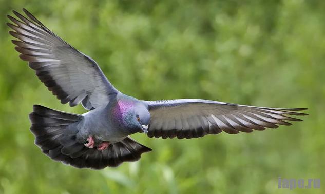 К чему голубь залетел в помещение: приметы