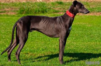 Грейхаунд описание породы собак, характеристики