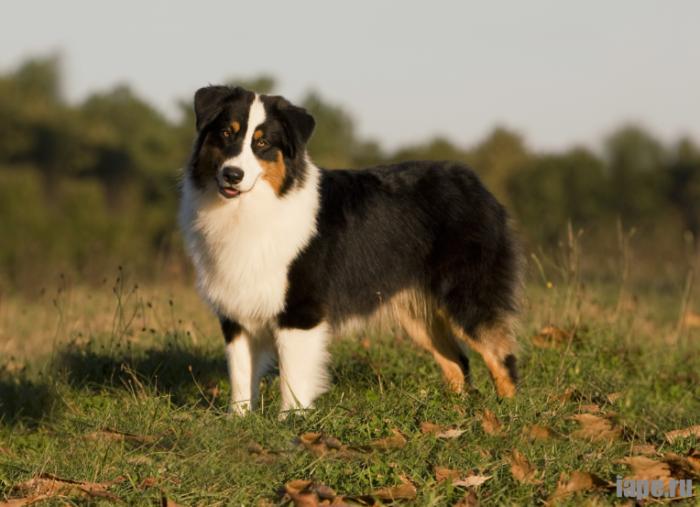 О породах собак. Австралийская овчарка