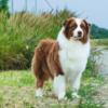 1024 × 601Изображения могут быть защищены авторским правом. Подробнее… Австралийская овчарка аусси: описание породы и уход