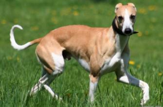 Порода собак Уиппет