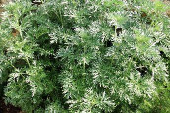 Легенда о траве Полынь