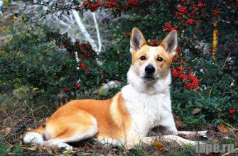 Ханаанская собака: Расположение и темперамент