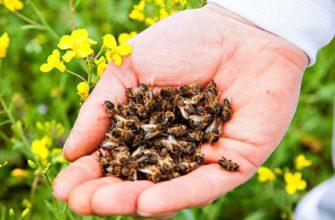 Пчелиный подмор для похудения как принимать