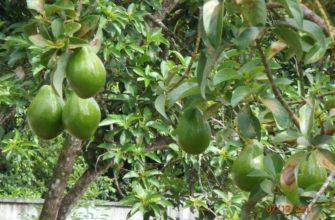 Авокадо: как выглядит и растет?