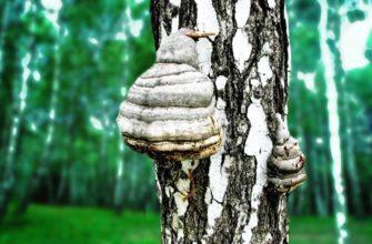 Полезные свойства березового гриба